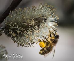 бджола крупним планом