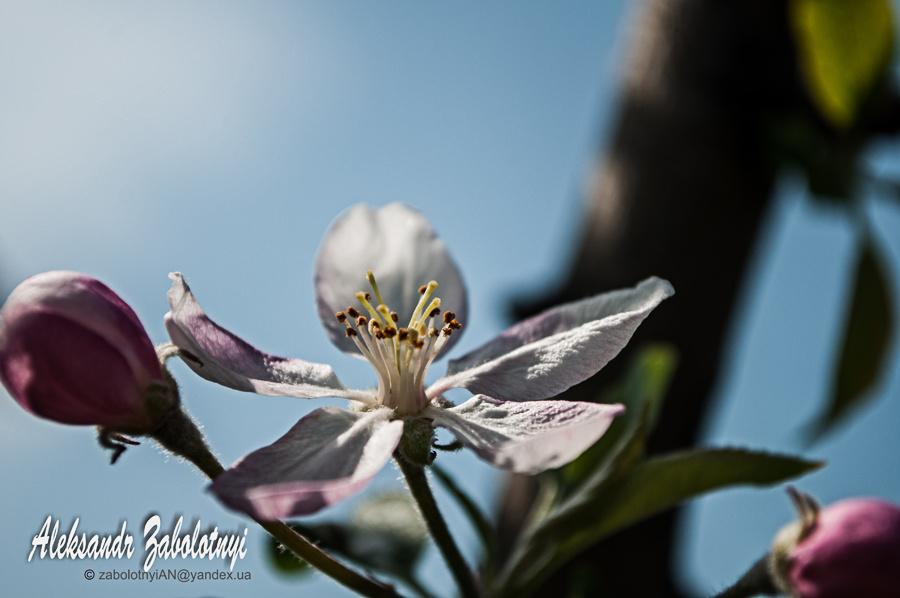 квітка яблуні