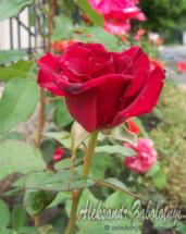 троянда з росою