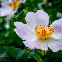 квітка шипшини