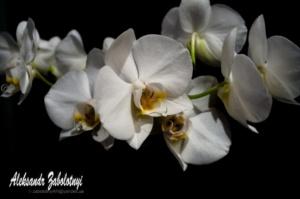 фотографія орхідеї