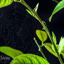 Павутина на лимоні в променях сонця, предметна фотографія